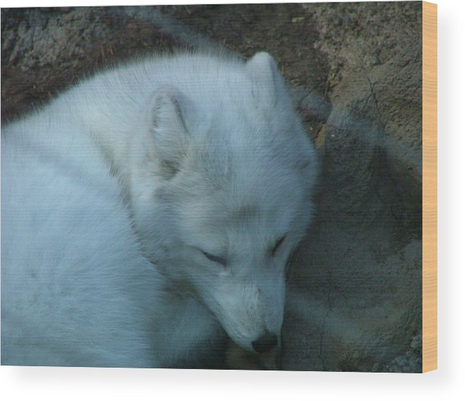 Artic Wood Print featuring the photograph Artic Fox by Thomas Jackson