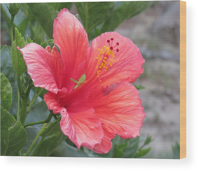 Grasshopper Wood Print featuring the photograph Baby Grasshopper On Hibiscus Flower by Nancy Nale