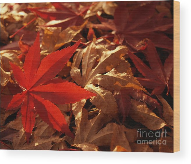 Leaf Wood Print featuring the photograph Back-lit Japanese Maple Leaf On Dried Leaves by Anna Lisa Yoder