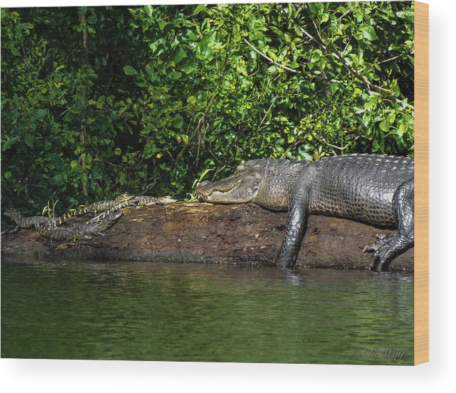 American Alligator Wood Print featuring the photograph Because I'm Happy by Elie Wolf