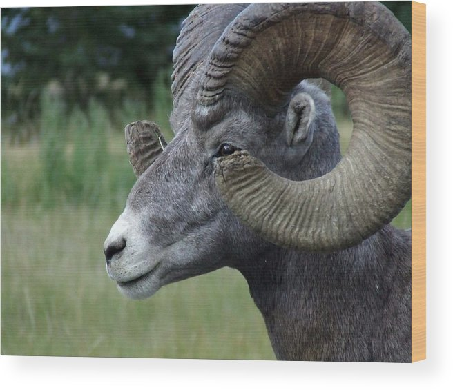 Big Horned Ram Wood Print featuring the photograph Bighorned Ram by Tiffany Vest
