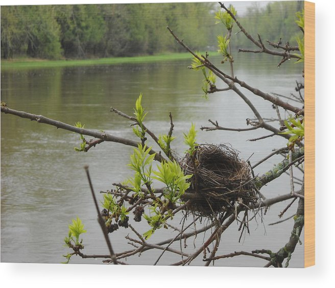 Nest Wood Print featuring the photograph Bird Nest In Ash Tree Branches by Kent Lorentzen