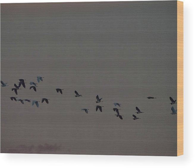 Flight Wood Print featuring the photograph Birds In Flight At Dusk by David Ramage