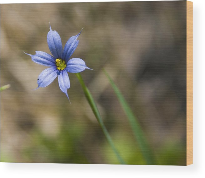 Flower Blue Grass Green Small Little Bright Color Colorful Yellow Flora Nature Wood Print featuring the photograph Blue-eyed Grass II by Andrei Shliakhau