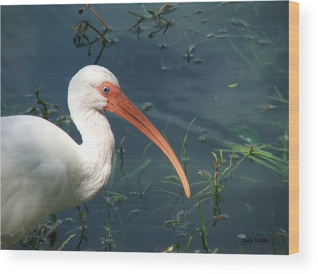 Ibis Wood Print featuring the photograph Blue Eyes by Judy Waller
