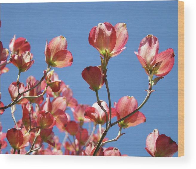 Dogwood Wood Print featuring the photograph Blue Sky Art Prints Pink Dogwood Flowers 16 Dogwood Tree Art Prints Baslee Troutman by Baslee Troutman