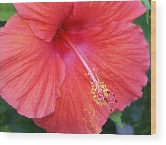 Flowers Wood Print featuring the photograph Blushing Stamen by Debbie May