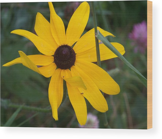 Yellow Flower Wood Print featuring the photograph Brown Eyed Susan by Donna Davis