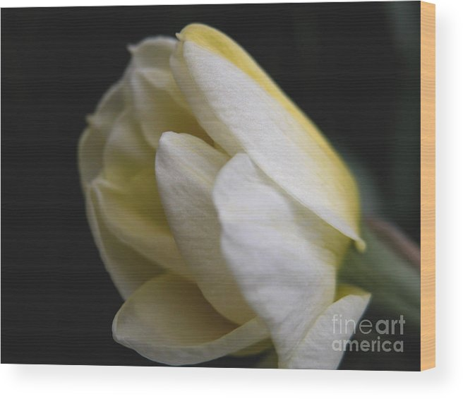 Flower Wood Print featuring the photograph Budding Narcissus by Michelle Hastings