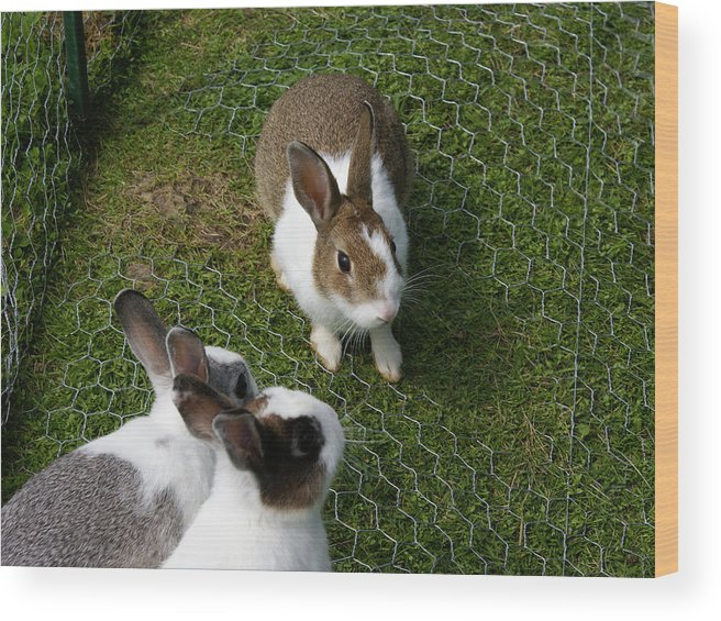 Bunny Wood Print featuring the photograph Bunnies by Lisa Hebert
