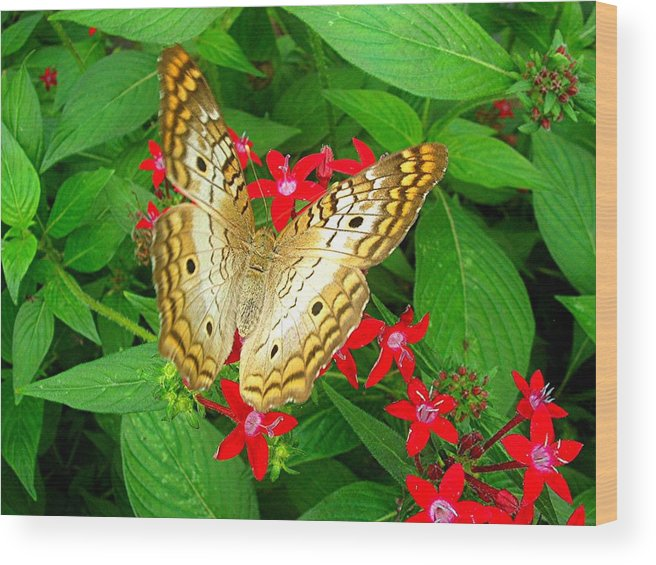 Butterfly Wood Print featuring the photograph Butterfly And Red Star Sprig by Caroline Urbania Naeem
