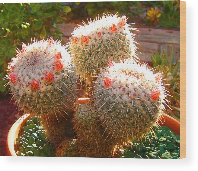 Landscape Wood Print featuring the photograph Cactus Buds by Amy Vangsgard
