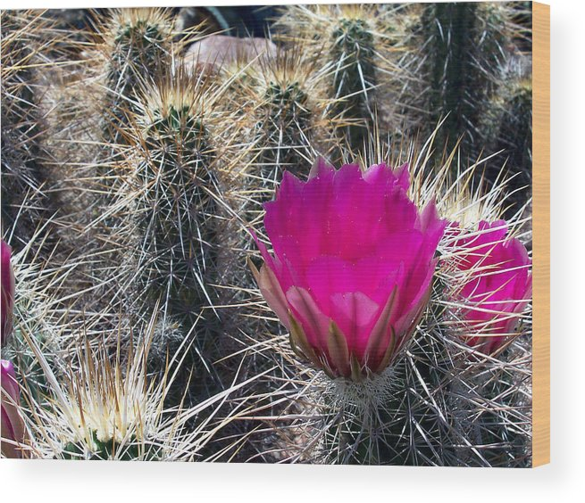 Flowers Wood Print featuring the photograph Cactus Flower by Claude Marshall
