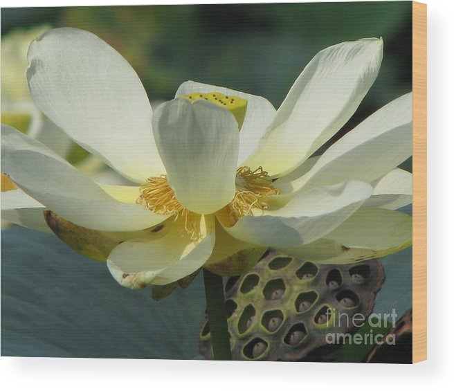Lotus Wood Print featuring the photograph Calm by Amanda Barcon
