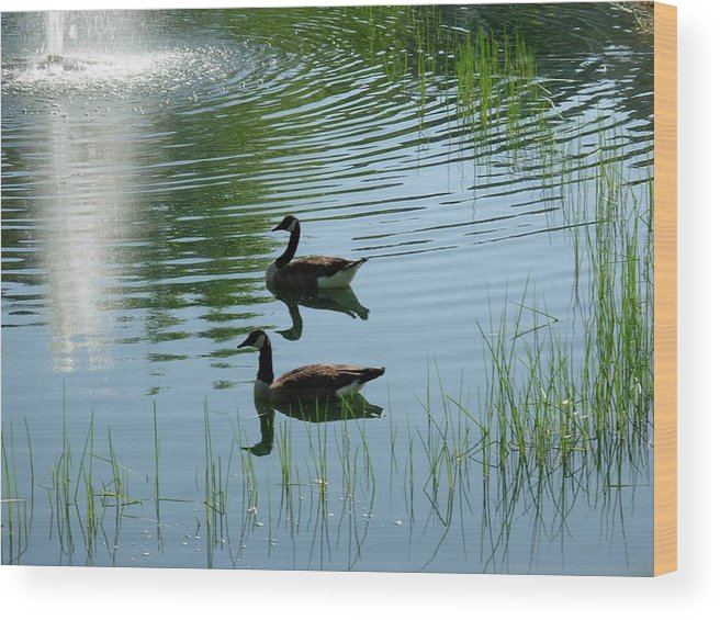 Wood Print featuring the photograph Canada Geese Swimming By Fountain by Jeanne Kay Juhos