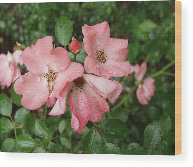 Carpet Roses Wood Print featuring the photograph Carpet Roses by Carol Sweetwood