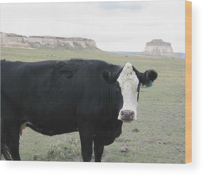 Rural Wood Print featuring the photograph cattle at Pawnee Butte Colorado by Margaret Fortunato