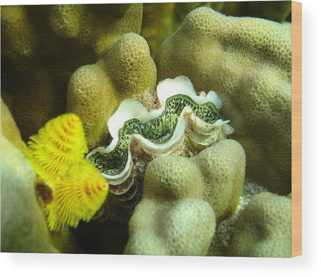 Underwater Wood Print featuring the photograph Clam On The Reef by Chad Natti
