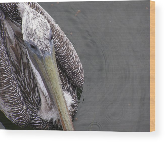 Pelican Wood Print featuring the photograph Close Encounter by Jim Cooper