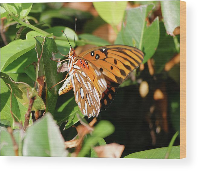 Nature Wood Print featuring the photograph Close-up Of A Vibrant Gulf Fritilary Butterfly by Jill Nightingale