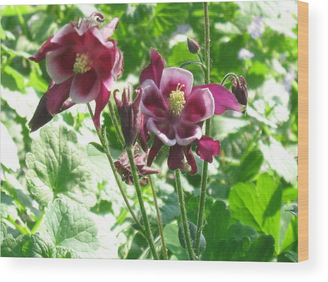 Nature Wood Print featuring the photograph Columbine #2 by Rose Dellinger
