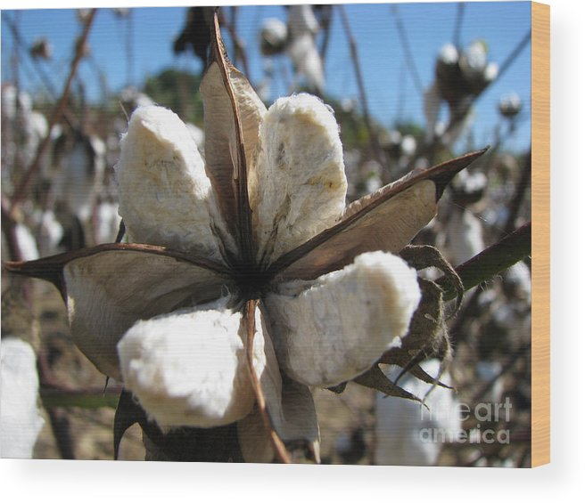 Cotton Wood Print featuring the photograph Cotton by Amanda Barcon