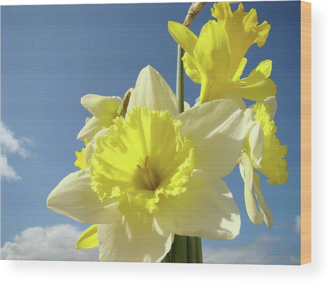 �daffodils Artwork� Wood Print featuring the photograph Daffodil Flowers Artwork Floral Photography Spring Flower Art Prints by Baslee Troutman
