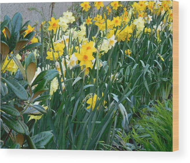 Scene Wood Print featuring the photograph Daffodil Garden by Maro Kentros