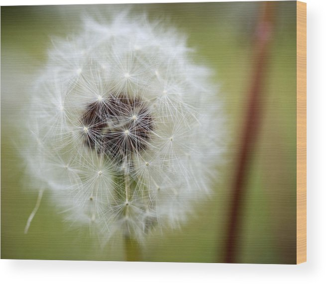 Dandelion Wood Print featuring the photograph Dandelion by Jessica Wakefield