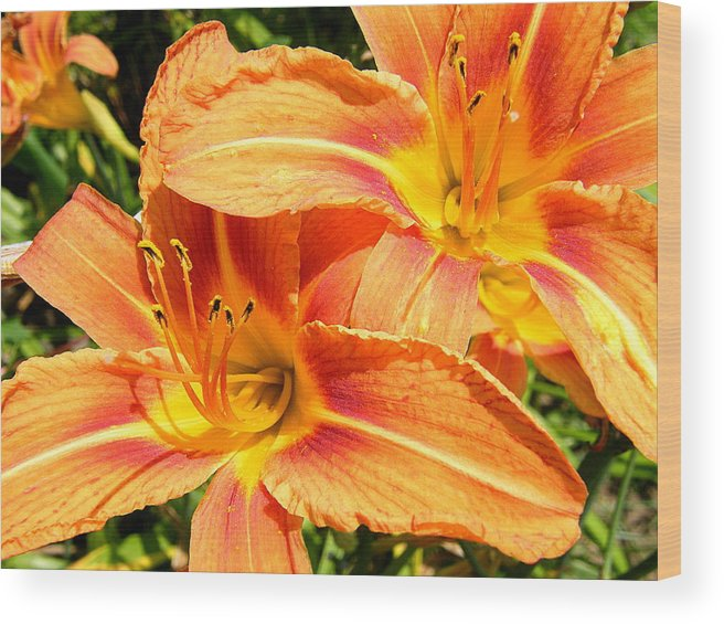 Flowers Wood Print featuring the photograph Daylillies In Bloom by Margaret G Calenda