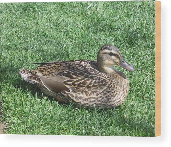 Duck Wood Print featuring the photograph Duck by Kathy Roncarati