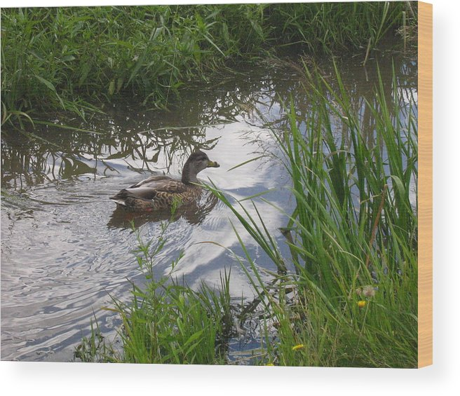 Duck Wood Print featuring the photograph Duck Swimming In Stream by Melissa Parks