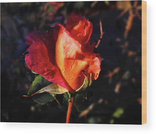Rose Wood Print featuring the photograph Early Rose by Mark Blauhoefer