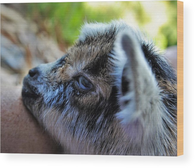 Baby Goat Wood Print featuring the photograph Eight Hours Old by Heidi Fickinger