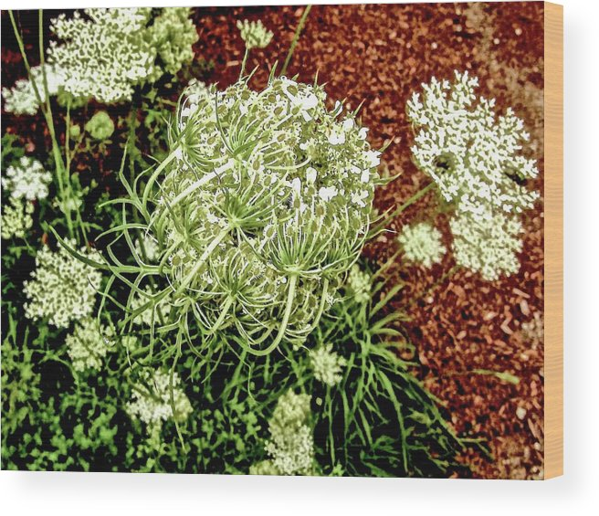 Queen Anne's Lace Wood Print featuring the photograph Emergence 3 by Elizabeth Tillar