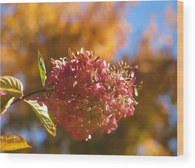 Flower Wood Print featuring the photograph Falling For Hydrangea by Alfred Ng