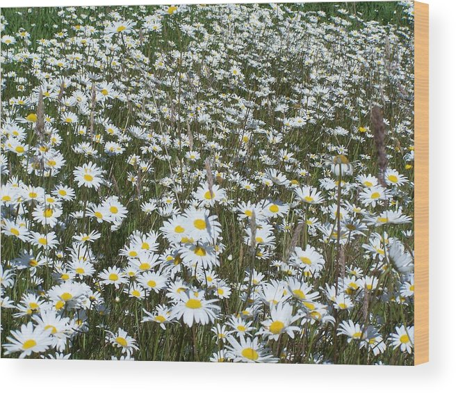 Dasies Wood Print featuring the photograph Field Dasies by Gene Ritchhart