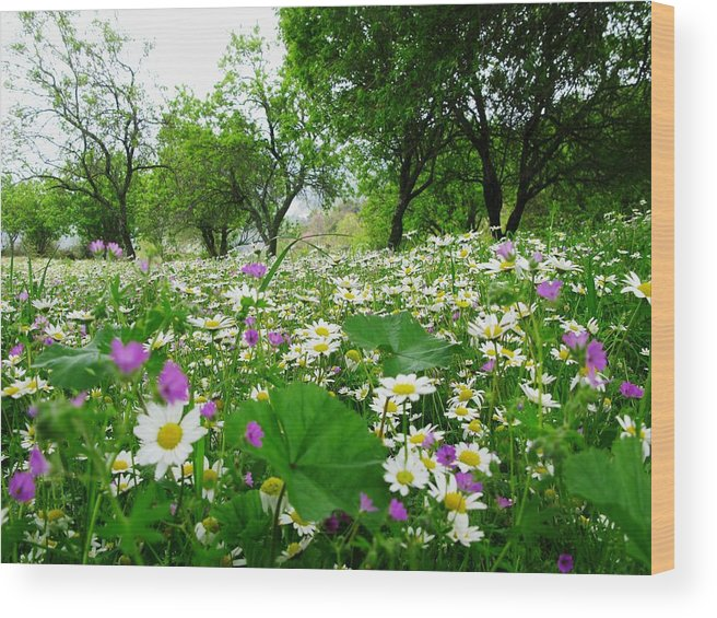 Spring Wood Print featuring the photograph Field Of Daisies by Andonis Katanos