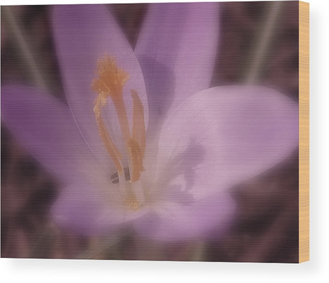Crocus Wood Print featuring the photograph First Flower Of Spring by Kenneth Krolikowski