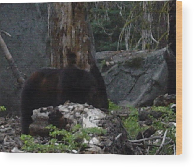 Bear Wood Print featuring the photograph Foraging by Terralyn Dickerman