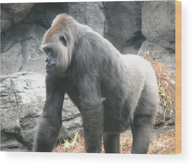Gorilla Wood Print featuring the photograph Gentle Giant by Stacey May