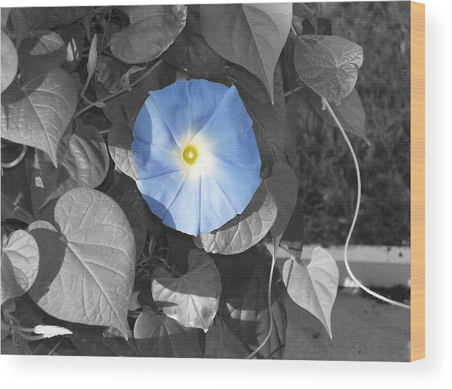 Blue Morning Glory Railroad Vine Plant Vines Wood Print featuring the photograph Glory Blue by Lindsay Clark