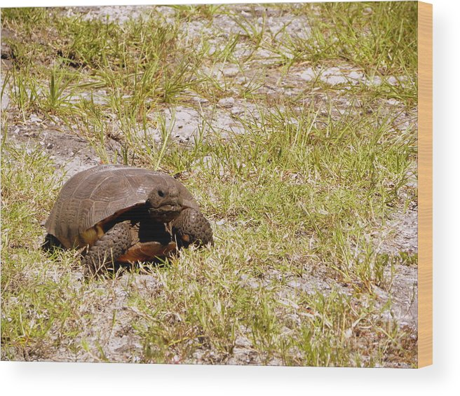 Turtle Wood Print featuring the photograph Gopher Turtle by Terri Mills