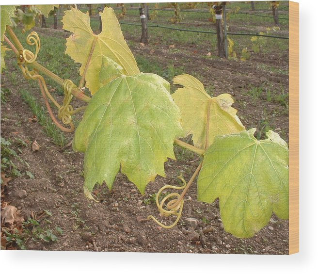 Grape Wood Print featuring the photograph Grape Leaves At Fess Parker by PJ Cloud