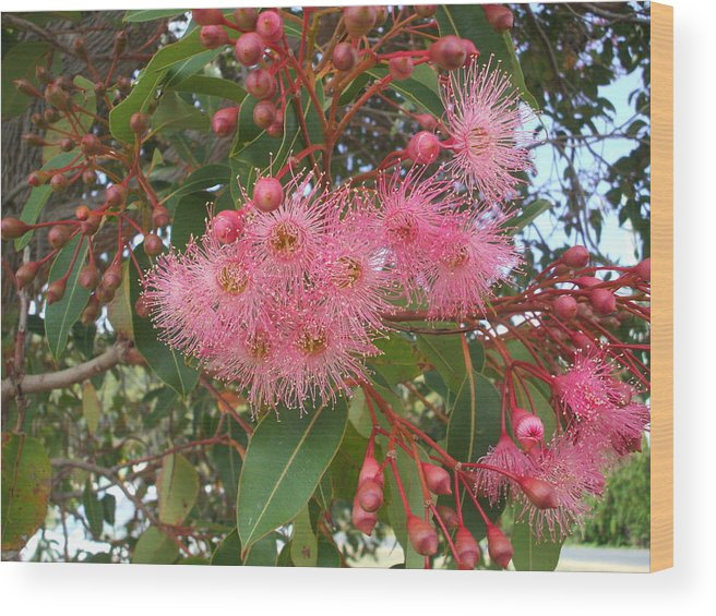 Gum Blossom Pink Green Flower Wood Print featuring the photograph Gum Blossom by Bethwyn Mills