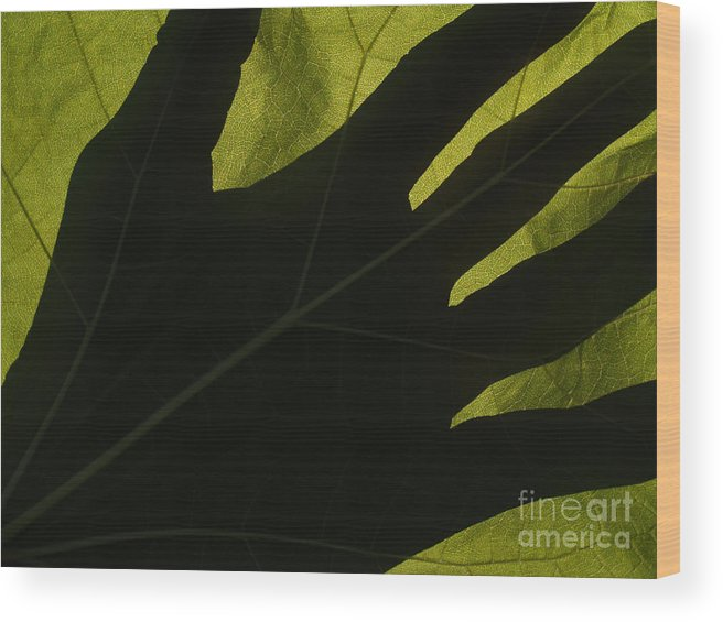 Hand Wood Print featuring the photograph Hand And Catalpa Veins Backlit by Anna Lisa Yoder
