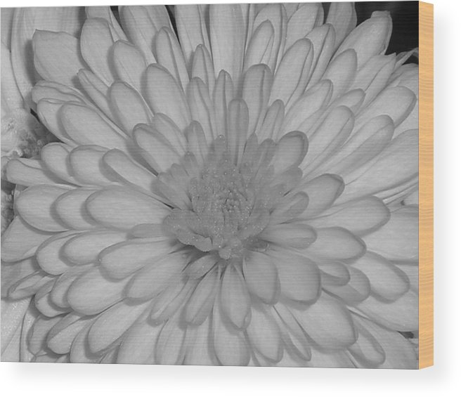 Flower Wood Print featuring the photograph He Loves Me He Loves Me Not by Stephanie Golden