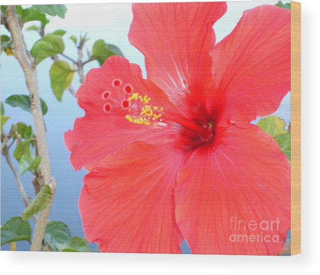 Flower Wood Print featuring the photograph Hibiscus At Full Bloom by Chad Natti