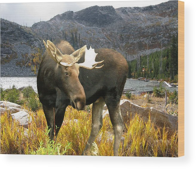 Moose Wood Print featuring the photograph High Country Moose by Robert Bissett