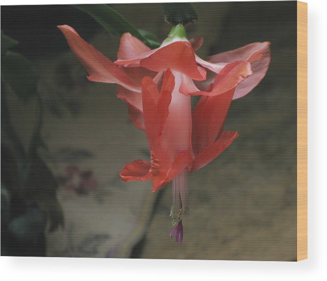 Blossom Wood Print featuring the photograph Holiday Cactus by Robert Bissett